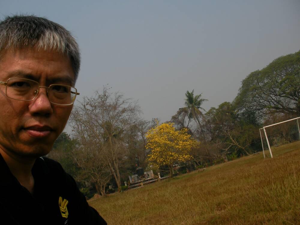 เหลืองอินเดียบานสะพรั่งต้นแรกของปี 2558